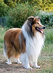 106px-1Dog-rough-collie-portrait