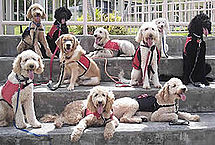 215px-Labradoodle_Assistance_Dogs