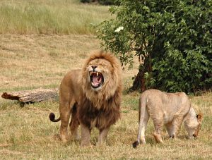Pair_of_lions