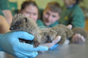 RSPCA East Winch Wildlife Centre Staff members holding adult hedgehogs East Winch, Norfolk, UK 1106142 Please read our licence terms agreed by you when registering on our website at www.rspcaphotolibrary.com. All digital images must be deleted after authorised use unless otherwise agreed in writing. Photograph by Joe Murphy/RSPCA www.rspcaphotolibrary.com  Tel: 0300 123 0402     Fax: 0870 753 0048    email: pictures@rspcaphotolibrary.com